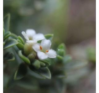 Raoulia-hookeri-Globuli