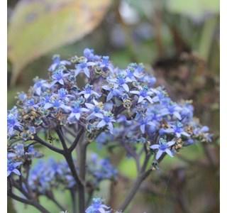 Dichroa-versicolor-Globuli