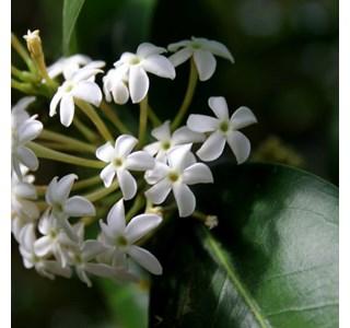 Acokanthera-oblongifolia-Globuli