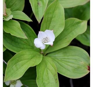 Cornus-canadensis-Globuli