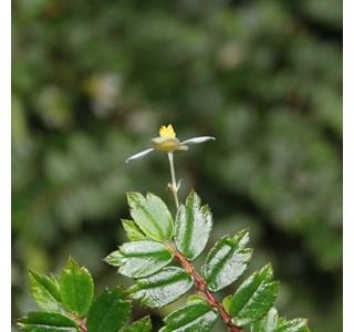Begonia-foliosa-Globuli