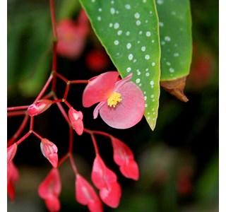 Begonia-albopicta-Globuli