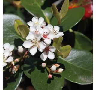 Rhaphiolepis-indica-Globuli