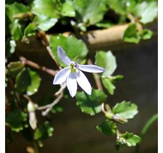 Pratia-angulata-Globuli