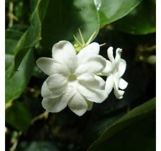 Jasminum-sambac-Globuli