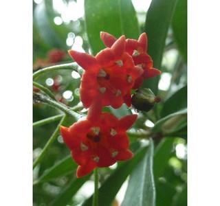 Bonellia-macrocarpa-Globuli