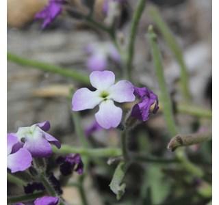 Matthiola-tricuspidata-Globuli
