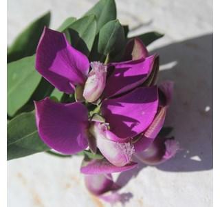 Polygala-myrtifolia-Globuli