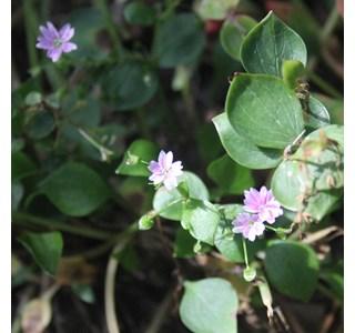 Claytonia-sibirica-Globuli