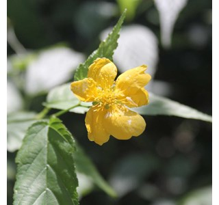 Kerria-japonica-Globuli