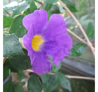 Thunbergia-erecta-Globuli