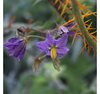 Solanum-pyracanthum-Globuli