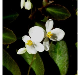 Begonia-thelmae-Globuli