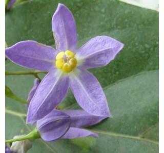 Solanum-seaforthianum-Globuli