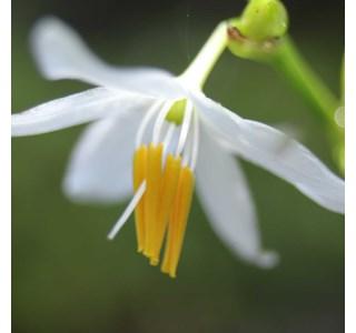 Chlorophytum-nepalense-Globuli