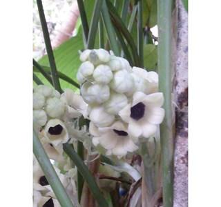 Peliosanthes-teta-Globuli