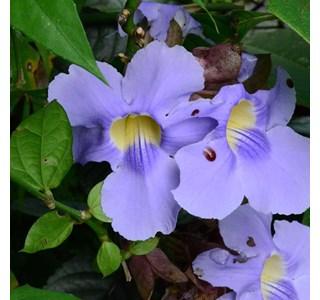 Thunbergia-grandiflora-Globuli