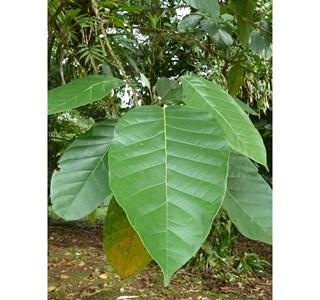 Trophis-racemosa-Globuli