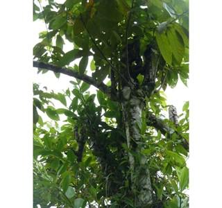 Nectandra-reticulata-Globuli