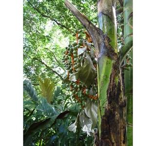 Chamaedorea-costaricana-Globuli