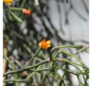 Hatiora-salicornioides-Globuli