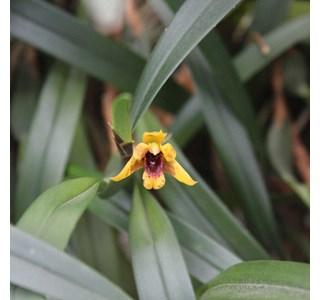 Maxillaria-variabilis-Globuli