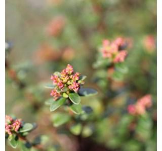 Leiophyllum-buxifolium-Globuli