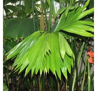 Carludovica-rotundifolia-Globuli