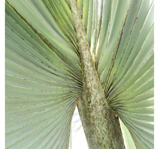 Bismarckia-nobilis-Globuli