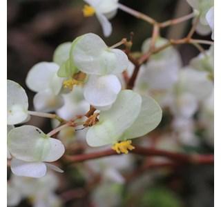 Begonia-involucrata-Globuli