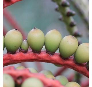 Pinanga-kuhlii-Globuli
