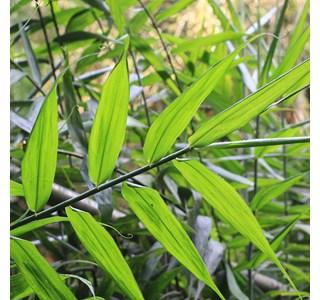 Flagellaria-indica-Globuli