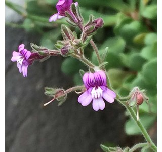Chaenorhinum-rubrifolium-Globuli