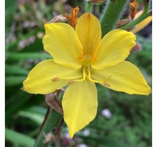 Wachendorfia-thyrsiflora-Globuli