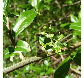 Orixa-japonica-Globuli