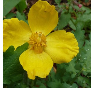 Stylophorum-diphyllum-Globuli