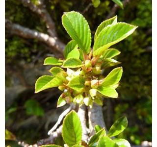 Rhamnus-pumila-Globuli