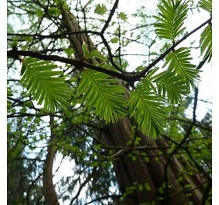 Metasequoia-glyptostroboides-Globuli