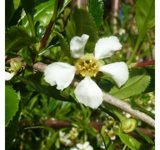 Prinsepia-uniflora-Globuli