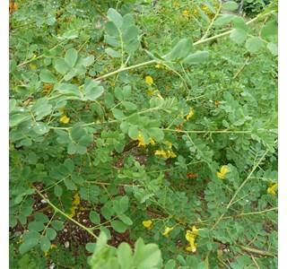 Colutea-arborescens-Globuli