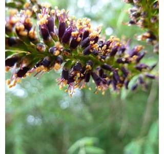Amorpha-canescens-Globuli