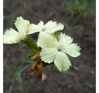 Dianthus-knappii-Globuli