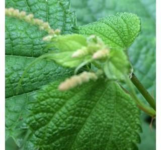 Boehmeria-japonica-Globuli