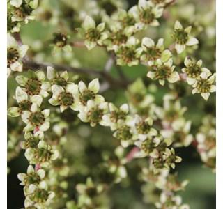 Rodgersia-aesculifolia-Globuli