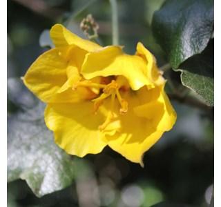 Fremontodendron-californicum-Globuli