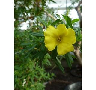 Hibbertia-tetrandra-Globuli