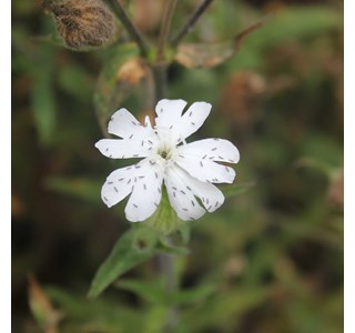 Silene-latifolia-Globuli