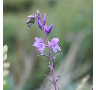 Veronica-perfoliata-Globuli