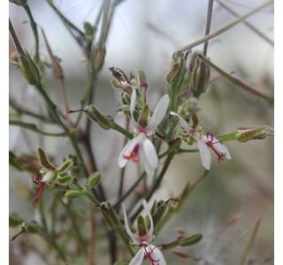 Pelargonium-carnosum-Globuli