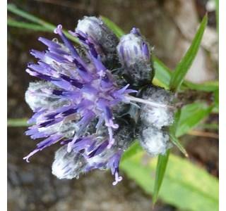 Saussurea-alpina-Globuli